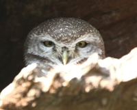 Picture of Spotted Owlet, Athene brama