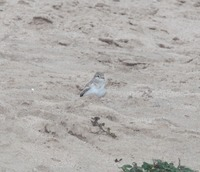 Picture of Indian Short-toed Lark, Calandrella raytal