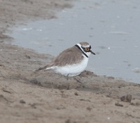 Picture of Little Ringed Plover, Charadrius dubius