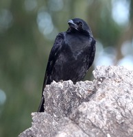 Picture of Large-billed Crow, Corvus macrorhynchos