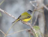 Picture of Grey-headed Canary-flycatcher, Culicicapa ceylonensis