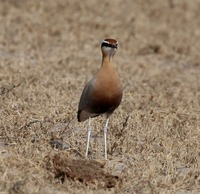 Picture of Indian Courser, Cursorius coromandelicus
