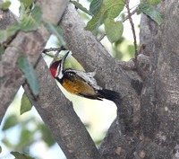 Picture of Black-rumped Flameback, Dinopium benghalense