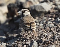 Picture of Ashy-crowned Sparrow-lark, Eremopterix griseus