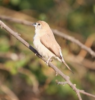 Picture of White-throated Munia, Lonchura malabarica