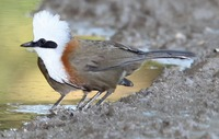 Picture of White-crested Laughingthrush, Garrulax leucolophus