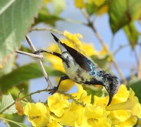 Picture of Purple Sunbird, Nectarinia asiatica