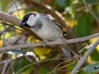 Picture of House Sparrow, Passer domesticus