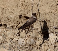 Picture of Plain Martin, Riparia paludicola