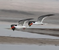 Picture of Indian Skimmer, Rynchops albicollis