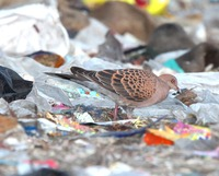 Picture of Oriental Turtle-dove, Streptopelia orientalis
