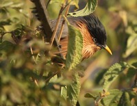 Picture of Brahminy Starling, Sturnus pagodarum