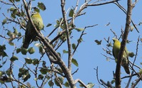 Picture of Yellow-footed Green-pigeon, Treron phoenicopterus