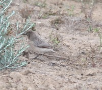 Picture of Large Grey Babbler, Turdoides malcolmi
