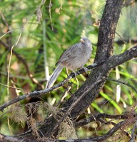 Picture of Jungle Babbler, Turdoides striata