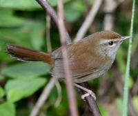 Picture of Philippine Bush-warbler, Cettia seebohmi