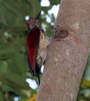 Picture of Buff-spotted Flameback, Chrysocolaptes lucidus