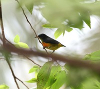 Picture of Orange-bellied Flowerpecker, Dicaeum trigonostigma