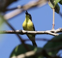 Picture of Golden-bellied Gerygone, Gerygone sulphurea