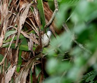 Picture of Brown Tit-babbler, Macronous striaticeps