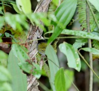 Picture of Black-headed Tailorbird, Orthotomus nigriceps