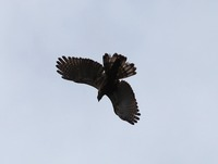 Picture of Barred Honey-buzzard, Pernis celebensis