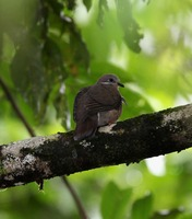 Picture of White-eared Brown-dove, Phapitreron leucotis