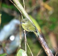 Picture of Mountain Leaf-warbler, Phylloscopus trivirgatus