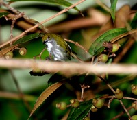 Picture of Olive-backed Flowerpecker, Prionochilus olivaceus