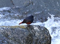 Picture of Luzon Water-redstart, Rhyacornis bicolor