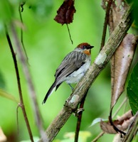 Picture of Rusty-crowned Babbler, Stachyris capitalis