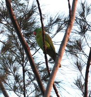 Picture of Blue-naped Parrot, Tanygnathus lucionensis