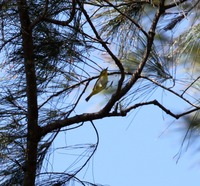 Picture of Lowland White-eye, Zosterops meyeni