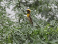 Picture of Baya Weaver, Ploceus philippinus