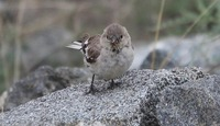 Picture of Black-winged Snowfinch, Montifringilla adamsi