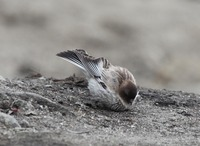 Picture of Black-headed Mountain-finch, Leucosticte brandti