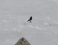 Picture of White-winged Redstart, Phoenicurus erythrogastrus