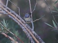 Picture of Bluethroat, Luscinia svecica