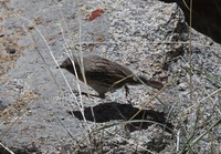 Picture of Robin Accentor, Prunella rubeculoides