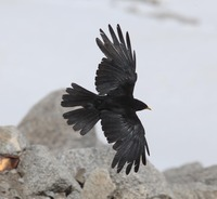 Picture of Yellow-billed Chough, Pyrrhocorax graculus