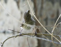Picture of Common Rosefinch, Carpodacus erythrinus