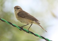 Picture of Mountain Chiffchaff, Phylloscopus sindianus