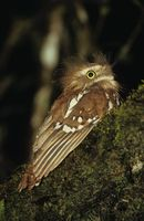 Picture of Short-tailed Frogmouth, Batrachostomus poliolophus