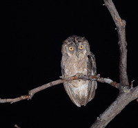 Picture of Mantanani Scops-owl, Otus mantananensis