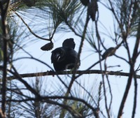 Picture of Palm Crow, Corvus palmarum