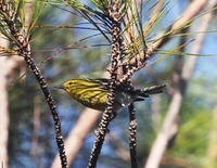 Picture of Palm Warbler, Dendroica palmarum