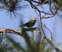 Picture of Hispaniolan Crossbill, Loxia megaplaga