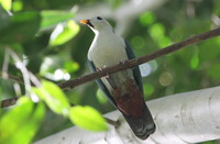 Picture of Maroon-chinned Fruit-dove, Ptilinopus subgularis