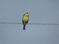Picture of Citrine Wagtail, Motacilla citreola