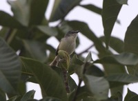 Picture of Yellow-bellied Prinia, Prinia flaviventris